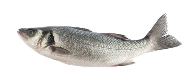 Seabassfisk som isoleras utan skugga royaltyfri foto