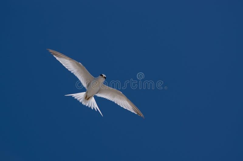 seabird imagen de archivo libre de regalías