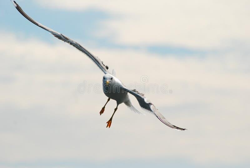 seabird obrazy royalty free