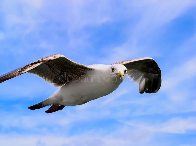 Seabird in flight against a whispy white cloud and blue sky background royalty free stock image