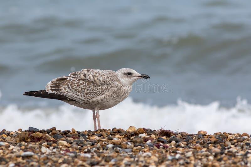 seabird Gaviota juvenil Pájaro joven en perfil en la costa foto de archivo