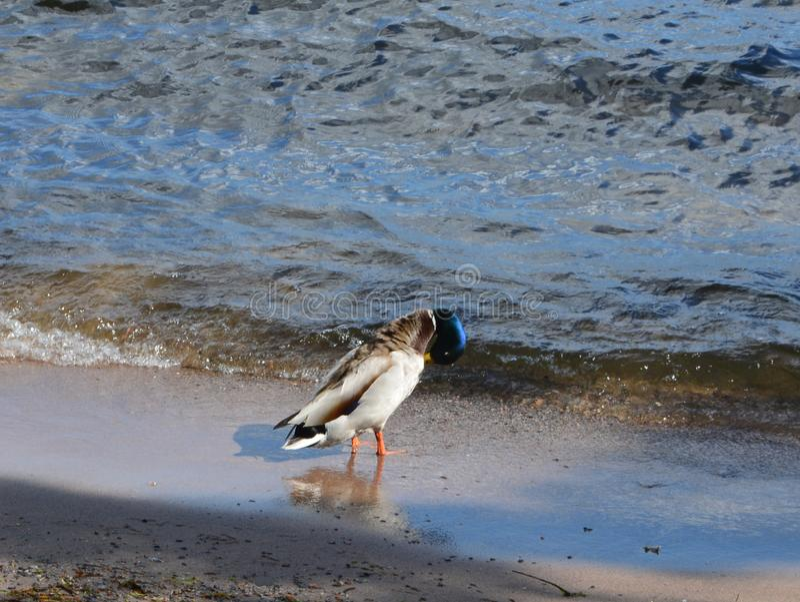 Seabird på stranden i sommaren fotografering för bildbyråer