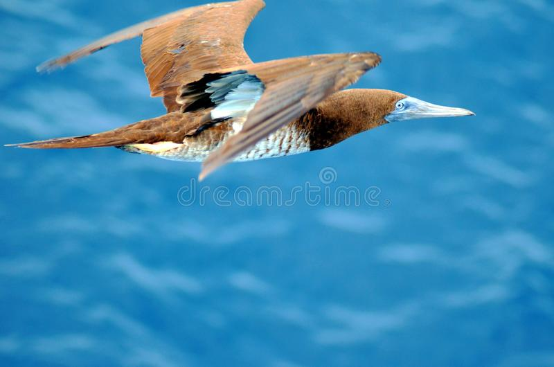 Seabirdflyg ?ver det lugna havet royaltyfri fotografi