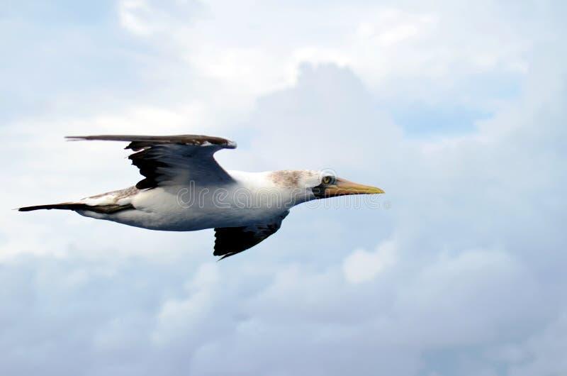 Seabirdflyg ?ver det lugna havet arkivfoto