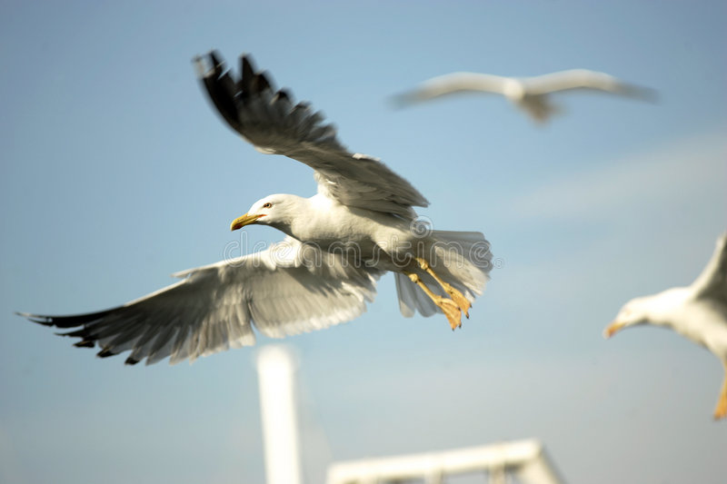 Seabirds. Are flying open wings on the blue sky stock image