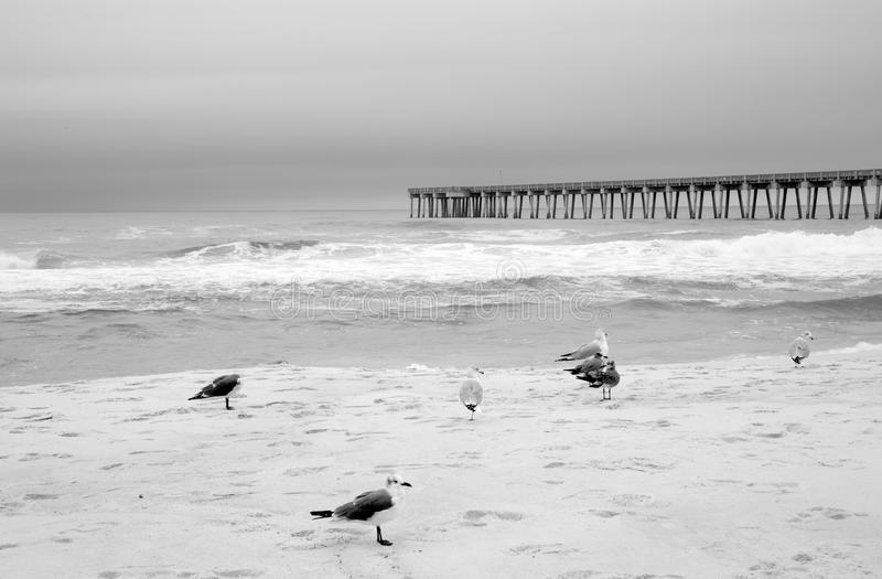 Seabirds on beach. Black and white picture about seabirds on beach royalty free stock photo