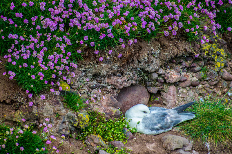 Seabirds in the cliffs stock image