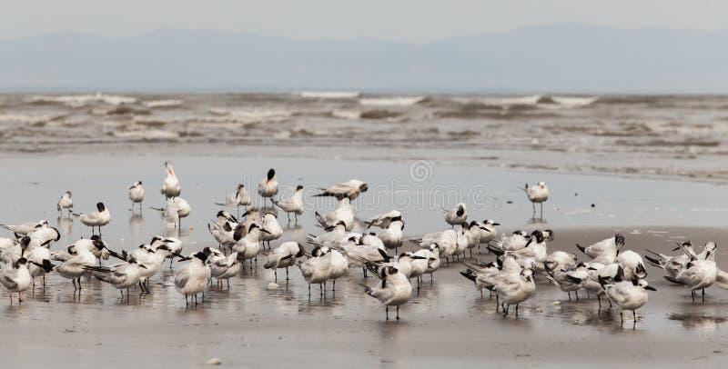 Seabirds. Colony in Santa Catalina - Panama royalty free stock photo