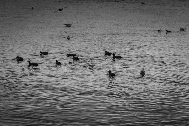Seabirds In A Dark Day. Seabirds in a noir film type of environment with dark and moody overcast atmosphere and a dull sea surface stock photography