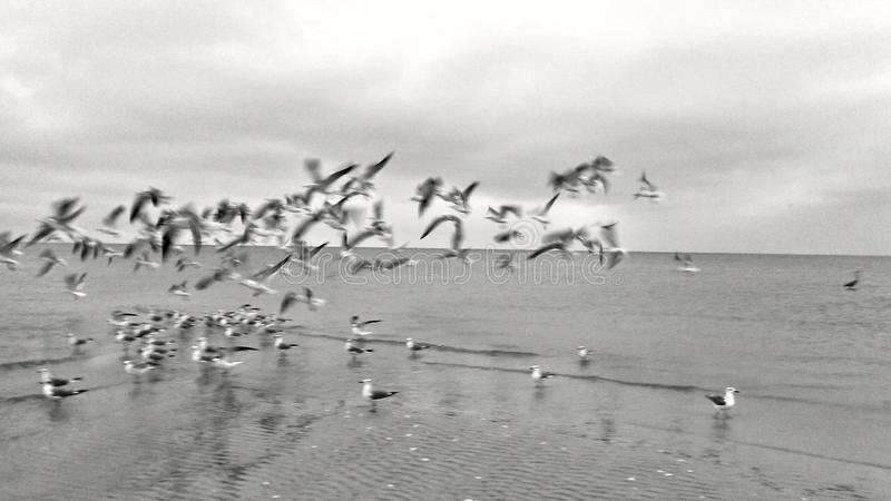 Seabirds At Flight. Seabirds flying and landing where others are on the beach stock image