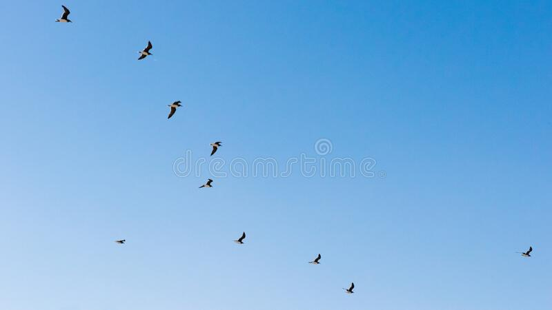 Flying seabirds in blue sky of Oman, seagulls in flight royalty free stock images