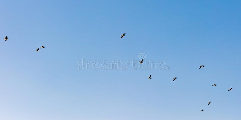 Flying seabirds in blue sky of Oman, seagulls in flight stock photo