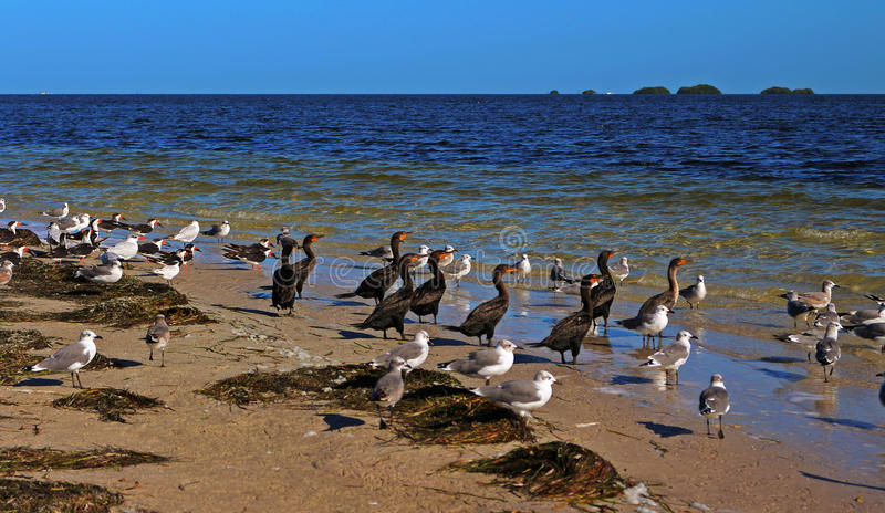 Seabirds in the Howard Park. Beach with seabirds seagulls, Cormorants and Black skimmer at sunrise in the Howard Park, Tarpon Springs, Tampa, Florida, USA royalty free stock photography