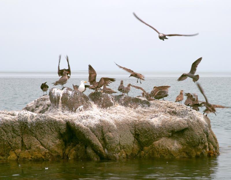 Seabirds on rock. Group of marine seabirds on rock in sea royalty free stock image