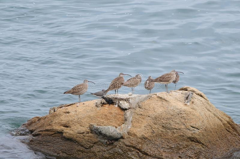 Seabirds on a rock in Japan. Some seabirds on a rock in Japan royalty free stock photos