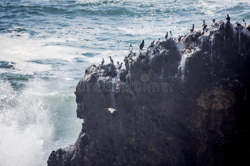 Seabirds on rock. Seabirds rest on a rocky cliff near the Yaquina Head Lighthouse while waves crash onto the cliff stock photo
