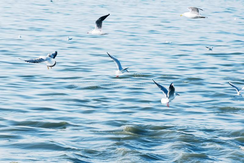 Seabirds of seagulls fly a large flock low over waves of water in the sea. Toned in style of instagram light vintage hipster. stock photos