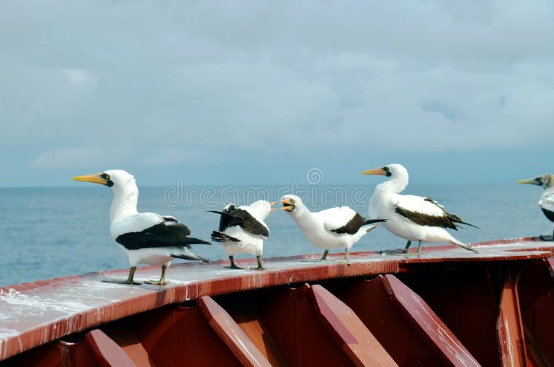 Seabirds seating on deck of cargo ship. Seabirds with big yellow beak, named Masked Booby Sula dactylatra, seating on board of cargo ship royalty free stock photo