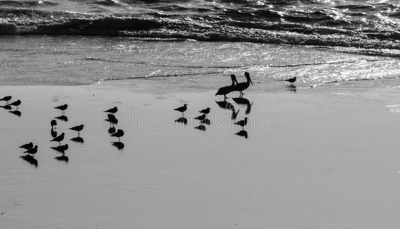 Seabirds and shadows. This looks like a parade of seabirds and pelicans at low tide. Their reflections in the sand double the population in the parade royalty free stock photography