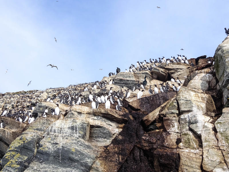 Seabirds. Sitting on the cliffs (Hornøya, Norway) royalty free stock images