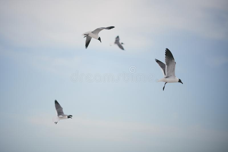 Seabirds in the sky. Seabirds flying in the sky stock photography