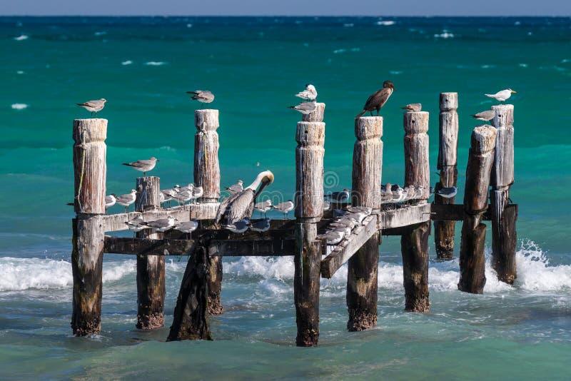 Seabirds som vilar på en gammal övergiven pir i Riviera Maya, Mexico arkivfoton