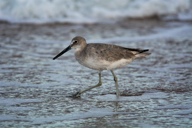 Seabirds spend their day hunting for food along the shoreline. Seabirds hunt the surf for small sea creatures darting in and out of the ocean waves royalty free stock image