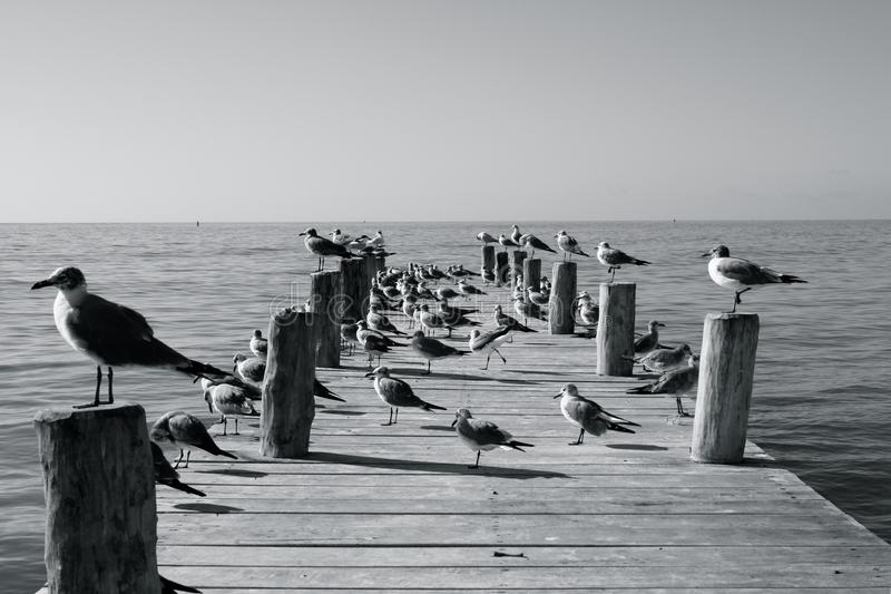 Seabirds on a sunlit jetty. A collection of various seabirds standing on a sunlit jetty in mexico royalty free stock photos