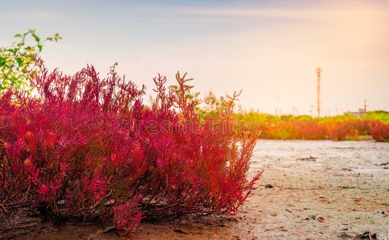 Seablite Sueda maritima growth in acid soil. Acid soil indicator plants. Red Seablite grow near dead tree on blurred background royalty free stock images