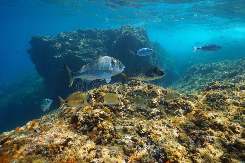 Seabream vist onderwater Middellandse Zee stock afbeeldingen