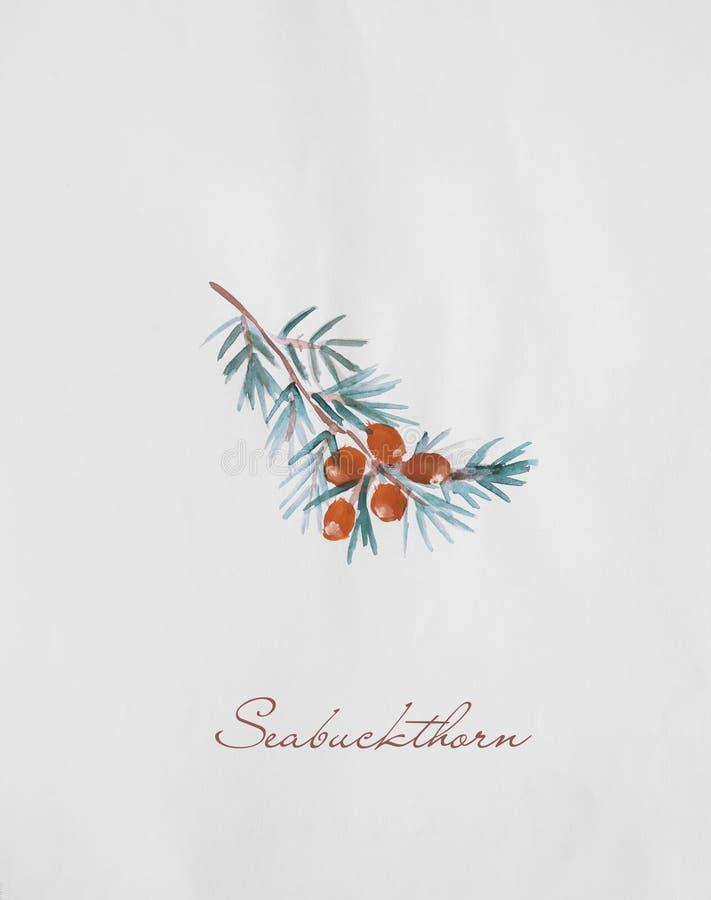 Seabuckthorn gałąź akwareli rysunkowa ilustracja royalty ilustracja