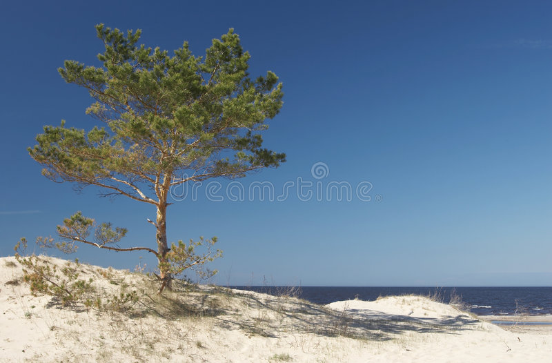 Seacoast and pine royalty free stock image
