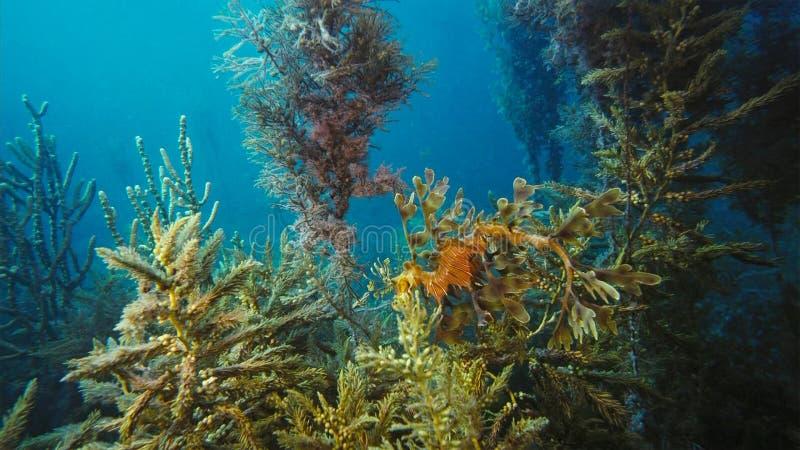 Seadragon frondoso lindo camuflado como a alga imagens de stock royalty free