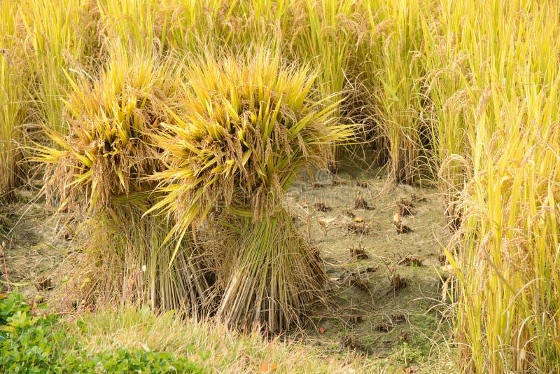 Seaf pełny dojrzewa ryż obrazy royalty free