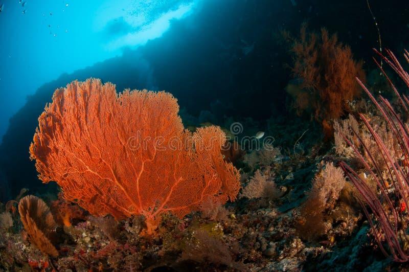 Seafan bunaken le PS de melithaea de Sulawesi Indonésie sous-marin photo stock