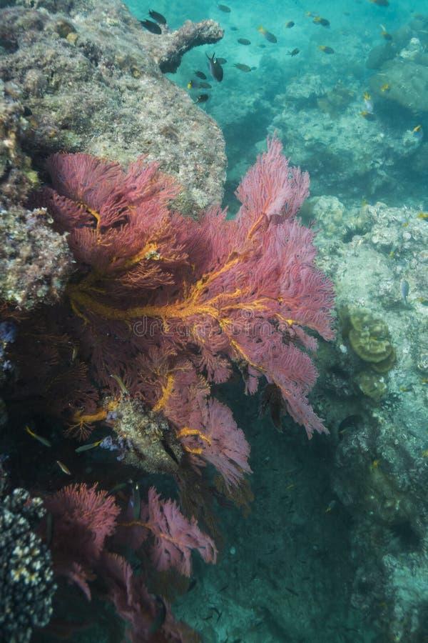 Seafan coloré à l'île de Lipe images stock