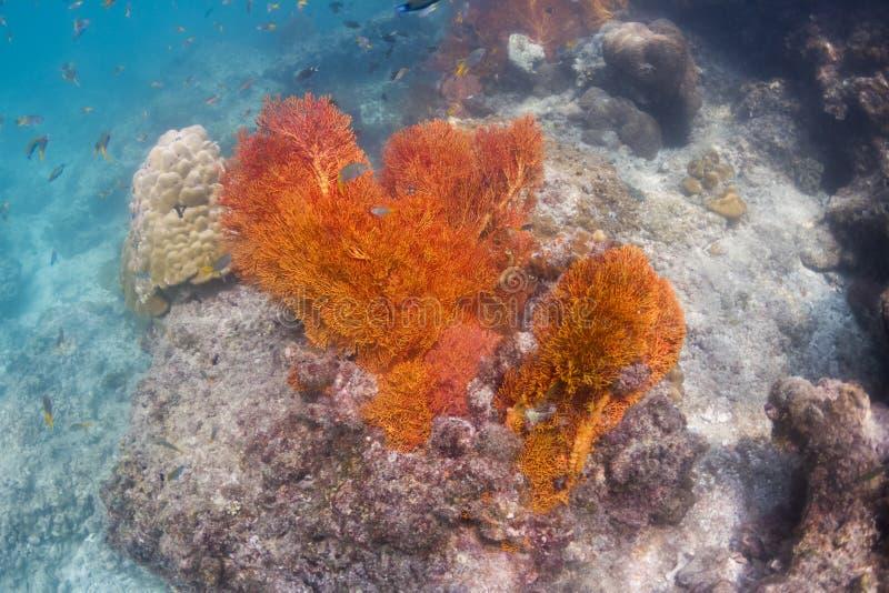 Seafan coloré à l'île de Lipe photographie stock libre de droits