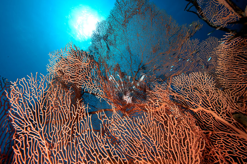 Seafan,coral and ocean stock image