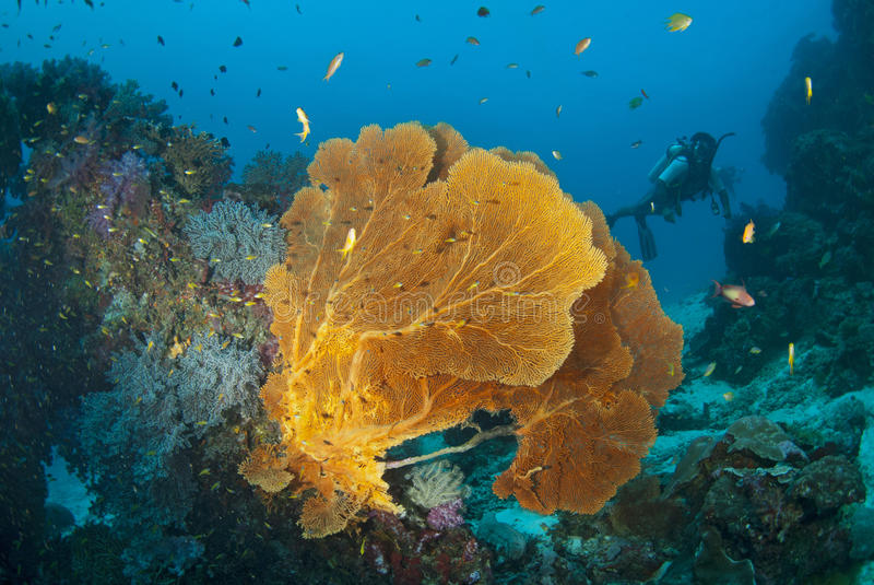 Download Seafan With Diver, Thailand. Stock Photo - Image: 28745398
