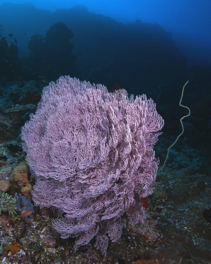 Seafan gorgonian pourpre photographie stock