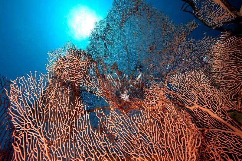 Seafan, Koralle und Ozean stockbild