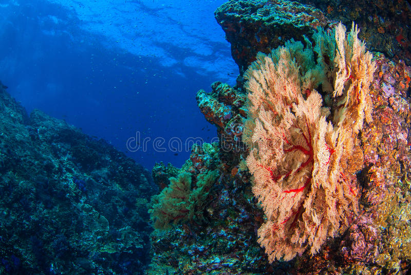 Seafan underwater. royalty free stock images