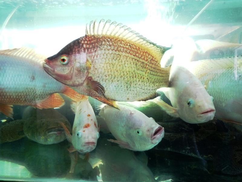 Seafood in fish tank. In Malaysia restaurant stock photos