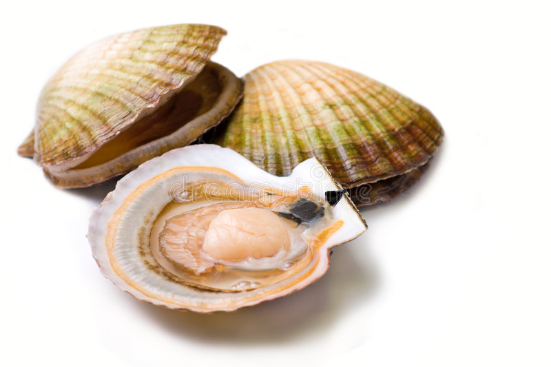 Seafood: Scallops. Seafood: live scallops (Pecten maximus). Isolated on white background