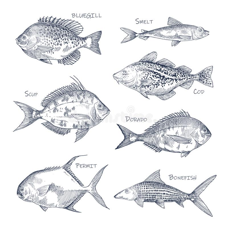 Seafood sketch or set of isolated hand drawn fish. Bluegill and smelt, dorado or mahi-mahi, Atlantic scup and cod, permit and bonefish. Side view on nautical royalty free illustration