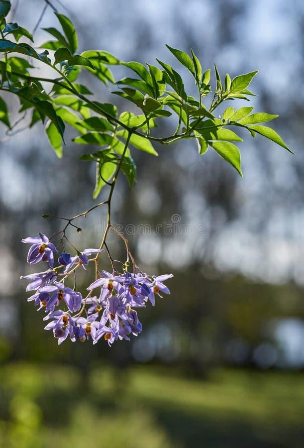 Seaforthianum brasileiro do nightshadeSolanum na luz solar brilhante imagens de stock royalty free