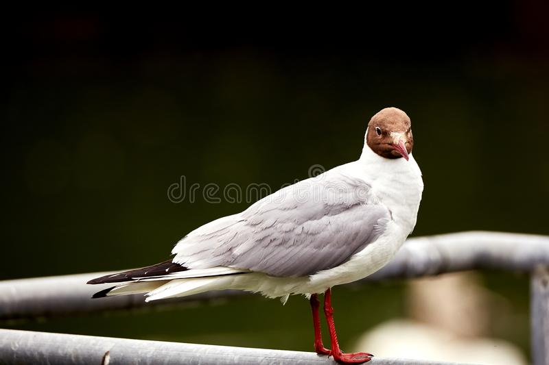 Seagal close up royalty free stock images