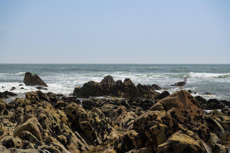 Seagall, das auf Felsen auf dem Strand sitzt stockbilder