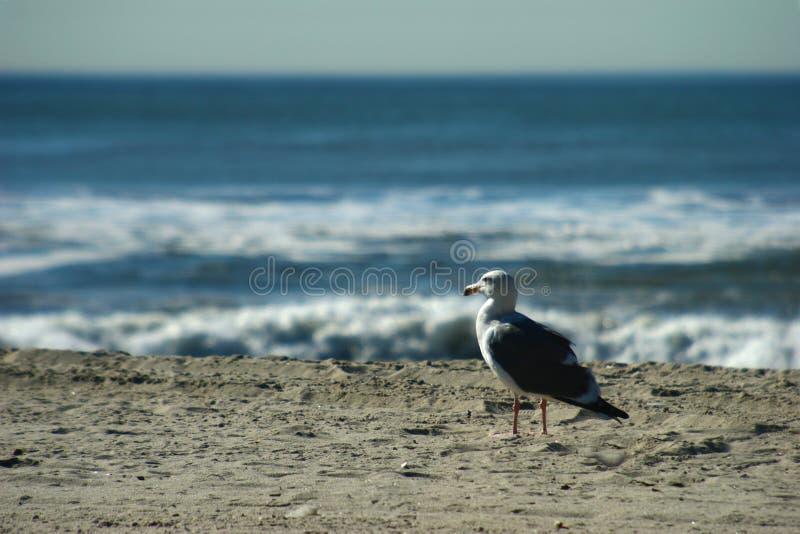 Seagall, das in den Ozean anstarrt lizenzfreie stockfotografie