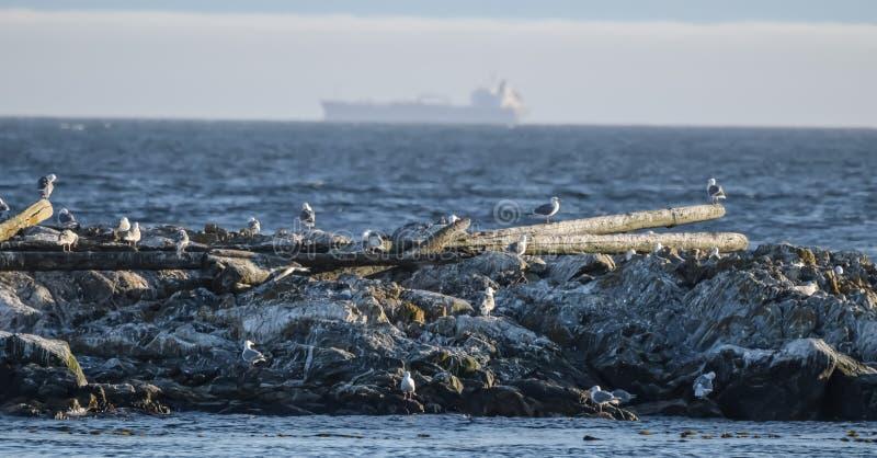 Seagauls przy Haro cieśniną obrazy stock